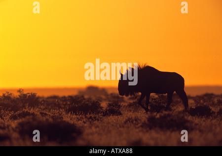 blaue Gnus - Silhouette bei Sonnenuntergang / Connochaetes Taurinus - Stockfoto