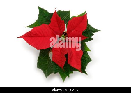 Weihnachtsstern eine traditionelle weihnachten blume mit roten und wei en farbigen hochbl tter - Zimmerpflanze mit roten blattern ...