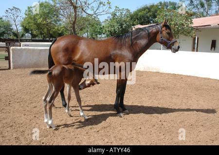 Pferd mit neuen Fohlen im Gestüt in der Nähe von Bombay Mumbai Indien - Stockfoto