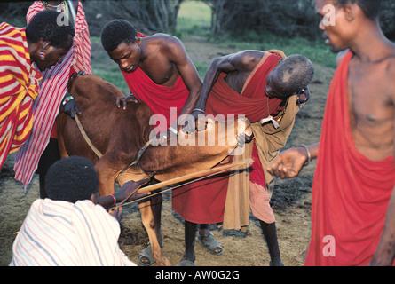 Maasai Mann schießen Pfeil in Hals Vene Kuh aus Blut südlichen Kenia in Ostafrika zu zeichnen - Stockfoto