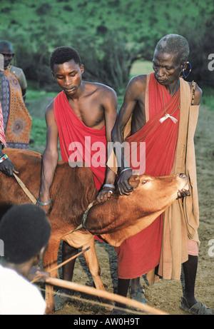 Maasai-Männer halten Kuh, während ein anderer Pfeil schießt in Hals Vene Kuh aus Blut südlichen Kenia in Ostafrika - Stockfoto