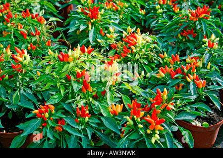 Peperoni Capsicum annuum - Stockfoto