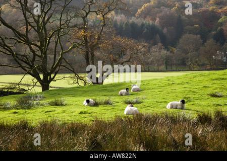 "Rydal Wasser ruhen Schafe neben den Wald neben Loughrigg Holme, ""Lake District"" Cumbria England UK - Stockfoto"