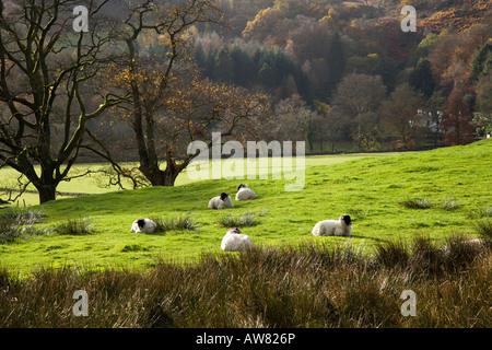 """Rydal Wasser ruhen Schafe neben den Wald in der Nähe von Loughrigg Holme, """"Lake District"""" Cumbria England UK - Stockfoto"""