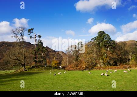 """Rydal Wasser weidenden Schafen neben dem Wald neben Loughrigg Holme, """"Lake District"""" Cumbria England UK - Stockfoto"""