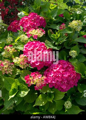 Grossblättrige Hortensie (Hydrangea macrophylla) - Stockfoto