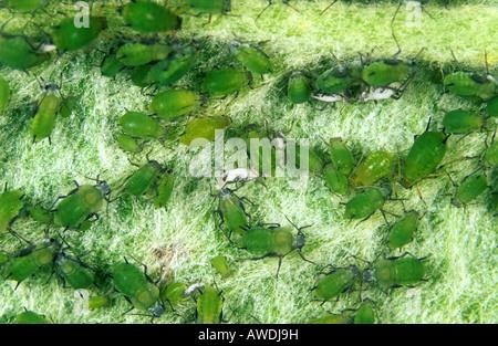 Grüner Apfel Blattlaus Aphis Pomi Befall an Apple Blatt Unterseite - Stockfoto