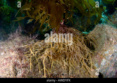 Die Holdfast ist das Wurzelsystem Verankerung riesige Kelp, Macrocystis Pyrifera, auf dem Meeresboden, Catalina - Stockfoto