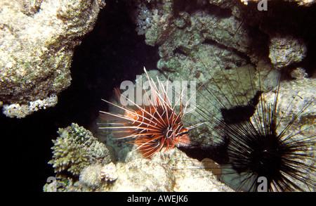 Ägypten Rotes Meer Red Lion Fish Pterois Radiata giftigen Stacheln sind gefährlich für den Menschen - Stockfoto