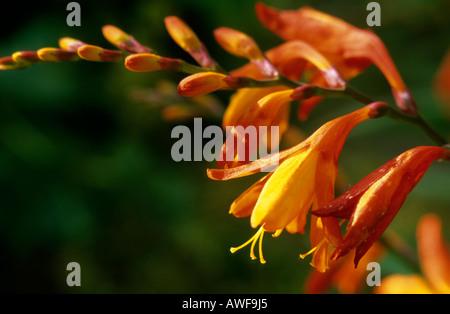 Crocosmia Blumen erhellen einen Garten im Frühherbst - Stockfoto