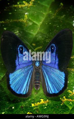 Blauer Schmetterling im Regenwald in der Nähe von Kana, in Der Darien Nationalpark, Darien Provinz, Republik Panama. - Stockfoto