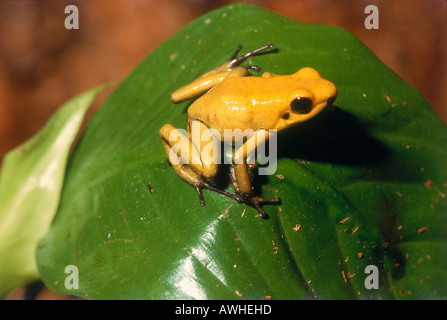Golden Yellow Poison Dart Frog thront auf Blatt - Stockfoto