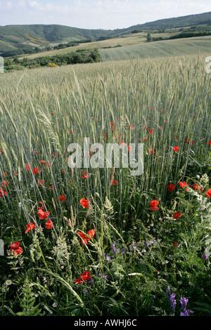 Mohn, wächst am Rand von Feldern der Weizen reif für die Ernte in der Nähe von Braganca Portugal - Stockfoto
