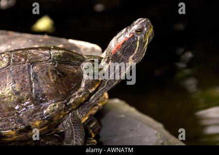 Rot-Schmuckschildkröte Schildkröte; Ist Scripta elegans - Stockfoto