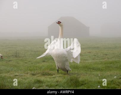 Vorderansicht eines majestätischen weißen Schwans seine gewaltigen Flügel stehend an einem nebligen Tag auf Braunton - Stockfoto