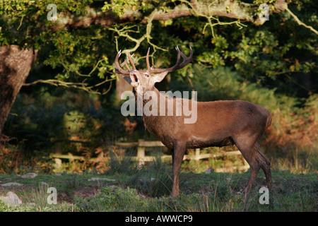 Red Deer Hirsch brüllen - Stockfoto
