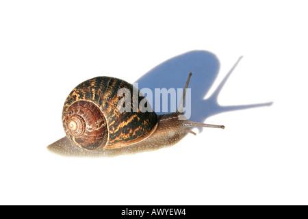 Franzosen Escargot isoliert auf weißem Hintergrund mit großer Schatten - Stockfoto