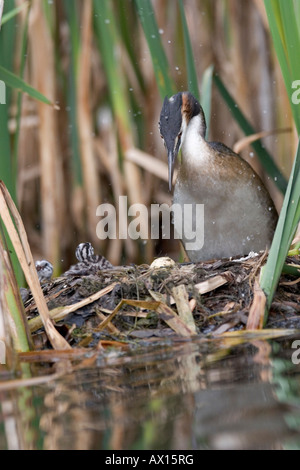 Haubentaucher (Podiceps Cristatus) stehend auf Nest mit drei Jungtiere und ein unhatched Ei sichtbar, Vulkaneifel, - Stockfoto