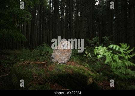 Waldkauz (Strix Aluco), junge auf Waldboden - Stockfoto