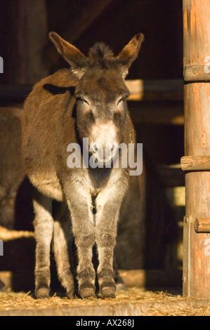 Esel (Equus Asinus) - Stockfoto