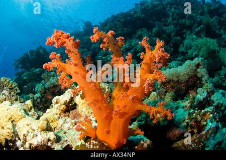 Orange Brokkoli Koralle - Stockfoto
