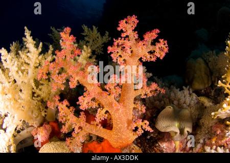 Brokkoli-Koralle - Stockfoto