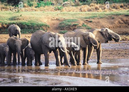 Elefanten im Fluss Uaso Nyiro Samburu National Reserve Kenya trinken - Stockfoto