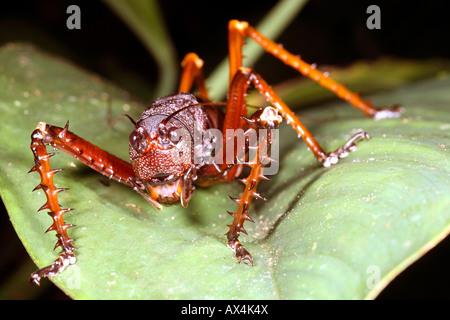Riesigen Amazonas Bush-cricket - Stockfoto