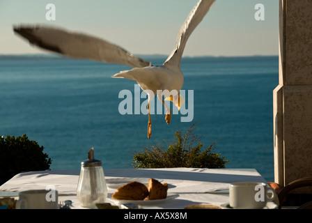 Gelb-legged Möve (Larus Michahelllis) abheben, Novigrad, Istrien, Kroatien - Stockfoto