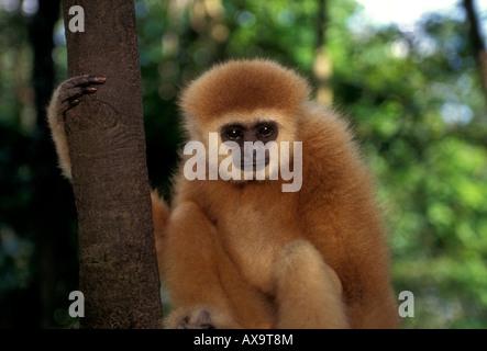Affe, Provinz Chiang Mai, Thailand, Südostasien, Asien - Stockfoto