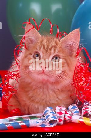 Langhaarige lange Haare Orange inländischen Kätzchen mit Ballons Bänder Krachmachern Partei Thema Feier PR CL 156971 - Stockfoto