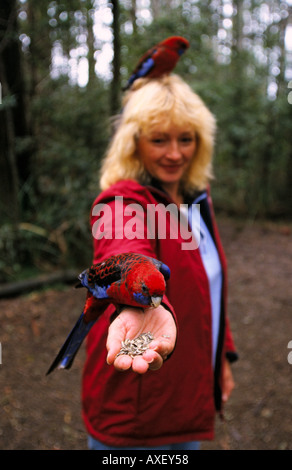 Handanlage Rosella Sherbrooke Forest Dandenong reicht Victoria Australia vertikale Platycercus elegans - Stockfoto