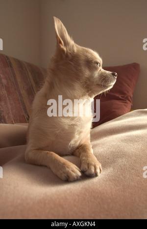 Chihuahua Hund - Stockfoto
