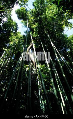 Riesigen Bambuswald auf dem Pipiwai Trail Waimoku fällt gefleckte Sonnenlicht filtert durch die dichten Blätter - Stockfoto