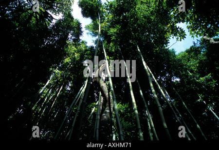 Riesigen Bambuswald auf dem Pipiwai Trail Waimoku fällt gefleckte Sonnenlicht Filtern durch die dichten Blätter - Stockfoto