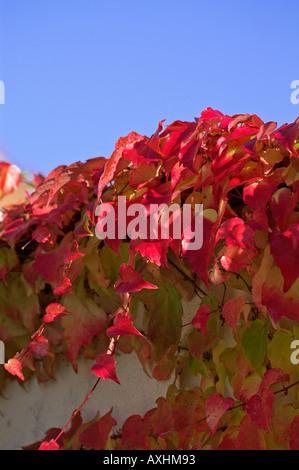 Bunte wilde Rebe Herbst Rotes Laub wilder Wein - Stockfoto