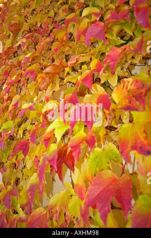 Bunte wilde Rebe Herbst wilder Wein Rote Blätter - Stockfoto