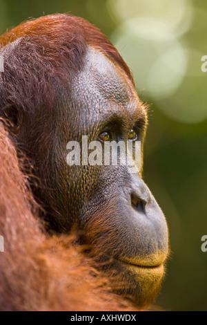 PORTRAIT OF A BORNEAN ORANGUTAN Pongo pygmaeus - Stockfoto