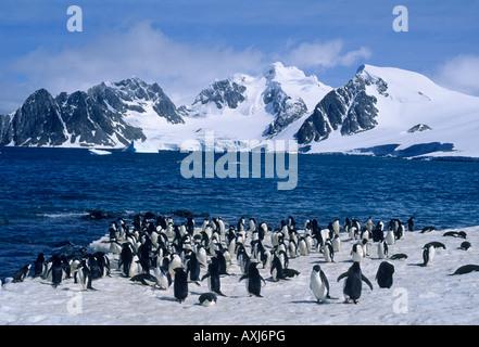 Adelie-Pinguine (Pygoscelis Adeliae) Süd-Orkney-Inseln, Antarktis - Stockfoto