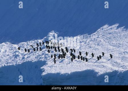 Adelie-Pinguine (Pygoscelis Adeliae) Kreuzung Schneefeld, Antarktis - Stockfoto