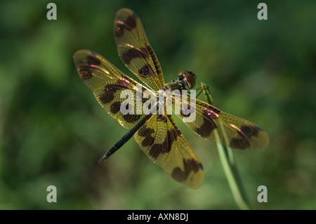 Eine Libelle ruht auf einem Rasen-Blatt. - Stockfoto