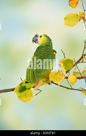 blaue fronted Amazon auf Zweig Amazona aestiva - Stockfoto
