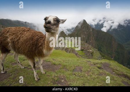 Ein Alpaka an der alten Inka-Ruinen von Machu Picchu, Peru - Stockfoto