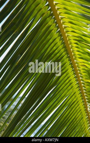 Palm Leaf, Nicoya Peninsula, costarica - Stockfoto