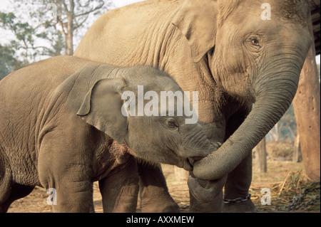 Captive asiatische (Indisch) Elefanten, Indien, Asien - Stockfoto