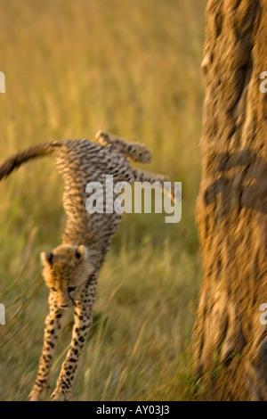 junge Geparden Cub springen nach unten vom Baumstamm Maasai Mara Wildreservat Kenia - Stockfoto