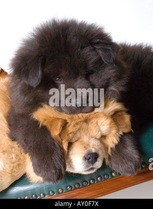 Chow-Chow Welpen schlafen - Stockfoto