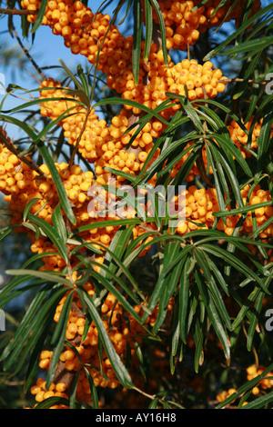 Sanddorn Beeren geboren am Stängel und Zweige Hippophae rhamnoides - Stockfoto