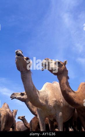 Kamele im Feld in der Nähe von Salalah Oman - Stockfoto