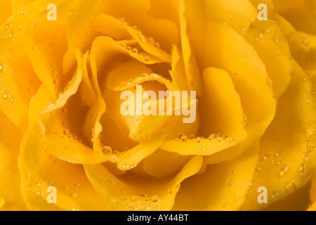 Nahaufnahme der gelbe Rose mit Wassertropfen - Stockfoto